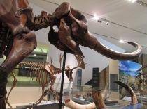 This mastodon was found in my hometown!
